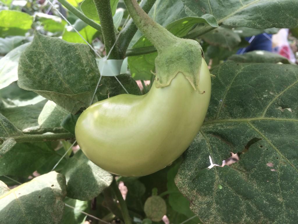 この茄子、熟れてないんじゃありません。緑のお茄子。 普通、茄子は茎から緑なんですが、これは茎の色が緑です。